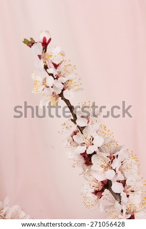 Pink background with a branch of flowers apricots