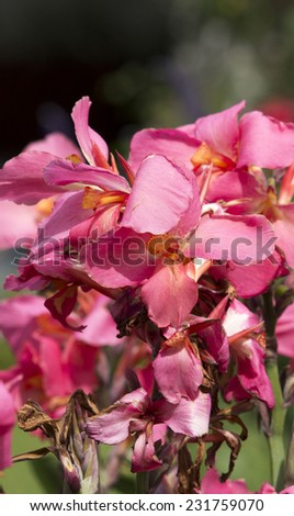 Pink  Bearded iris (tall bearded, medians and dwarfs)  hardy perennials grown from rhizomes add charm to the cottage garden with decorative blooms from spring to summer. - stock photo