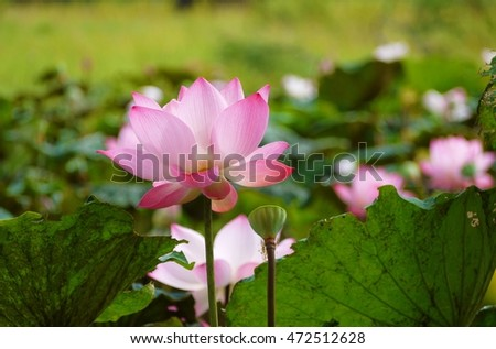Pink beautiful lotus on blurred  background , selective focus .