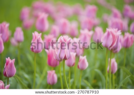 Pink beautiful tulips field in spring time, floral background - stock photo