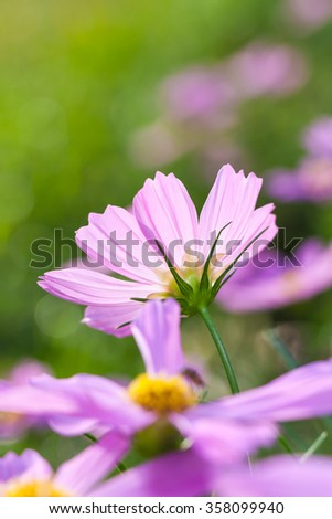 Pink beauty cosmos flowers blooming in the garden. Beautiful natural floral use as background. Shallow depth of field (dof), selective focus. Vertical image, close up with blurred nature background. - stock photo