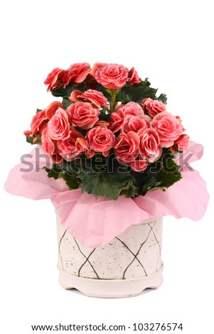 Pink Begonia pot plant in pink cover and white pot - stock photo