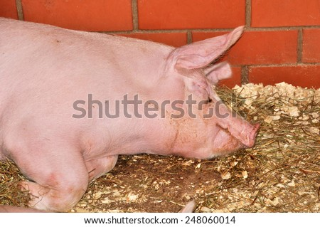 pink big pig sleeps - stock photo