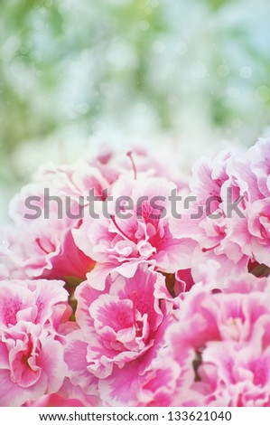 Pink blooming azaleas bush background - stock photo
