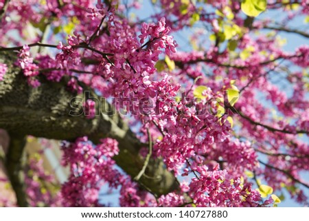 Pink Blooming branches of Judas tree or Cercis siliquastrum with blue sky - stock photo