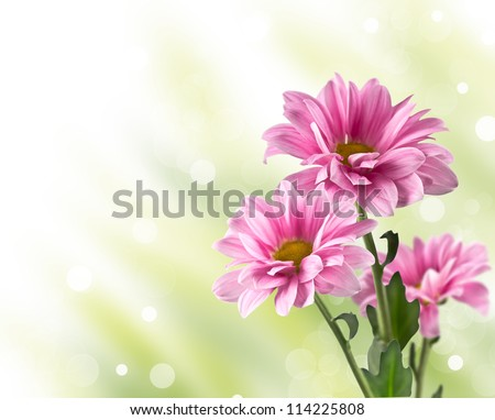 pink blooming chrysanthemum flowers with a blurred background - stock photo
