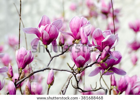 Pink blooming magnolia flowers in spring garden - stock photo