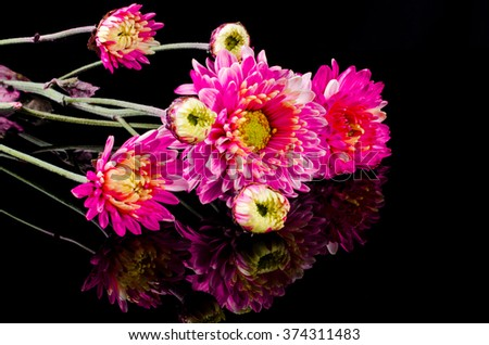 pink blossom chrysanthemum on black background with reflection