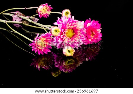 pink blossom chrysanthemum with reflection on black surface background