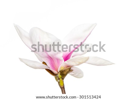 Pink blossom of a magnolia tree