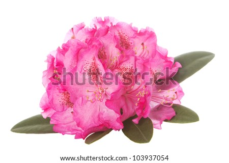 Pink blossom of a rhododendron with green leaves over a white background - stock photo