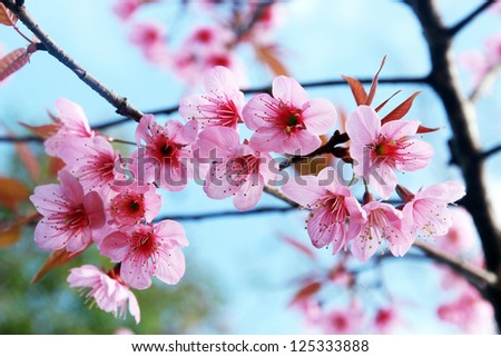 pink blossom sukura flowers on a spring day in Thailand - stock photo