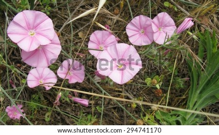 Pink blossoming field bindweed flowers in the county - stock photo