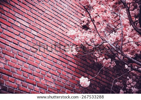 Pink blossoming tree (Prunus Triloba) against old red brick wall. Vignette effect. Toned monochrome photo. - stock photo
