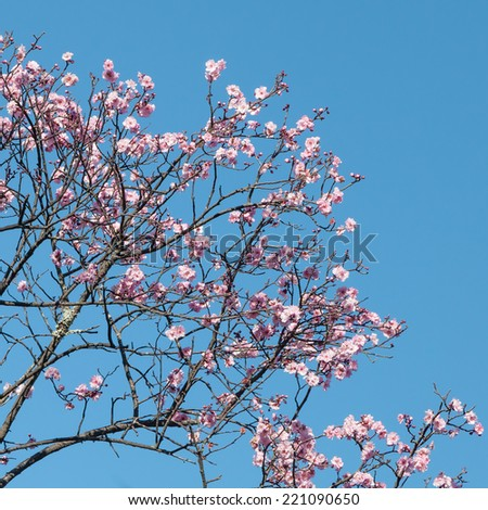 Pink blossoms of a Japanese flowering cherry tree (Prunus serrulata) against a cloudless blue sky in spring - stock photo