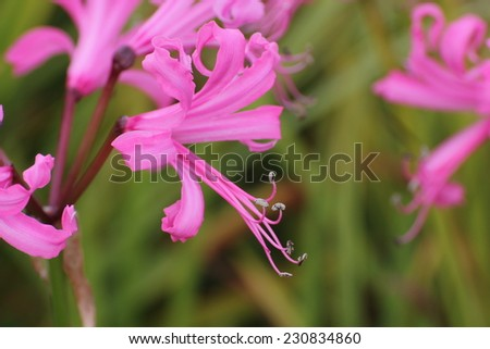 Pink blossoms of the Guernsey lily (Nerina bowdenii).