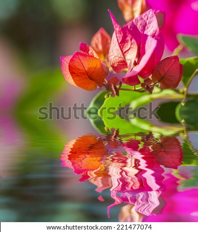 Pink bougainvillea flower and reflection