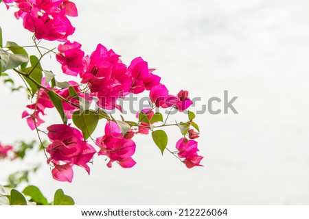 Pink Bougainvillea flowers - stock photo