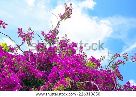 Pink Bougainvillea flowers - stock photo