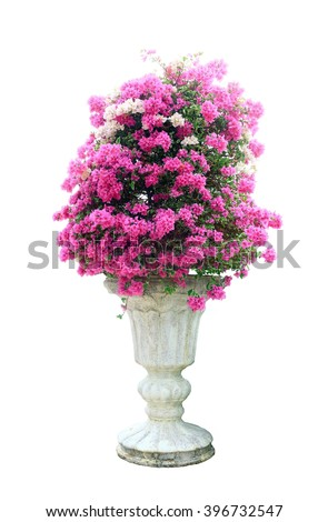Pink bougainvillea in a pot on a white background isolated .