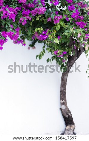 Pink bougainvillea. Ivy on a white wall.