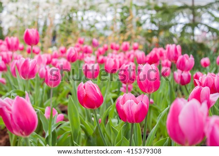 Pink bouquet Tulips - stock photo
