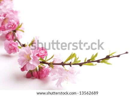 pink branch, close-up, white background
