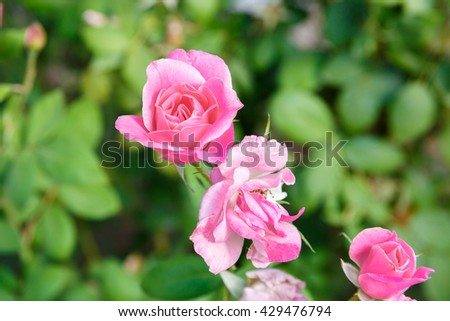Pink bud rose on green leaves background - stock photo
