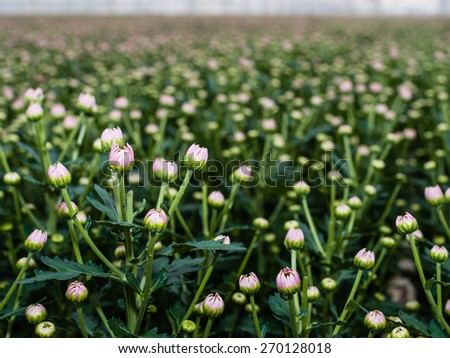 Pink buds of a great number of Chrysanthemum plants in the glasshouse of a specialized cut flower nursery in the Netherlands. - stock photo