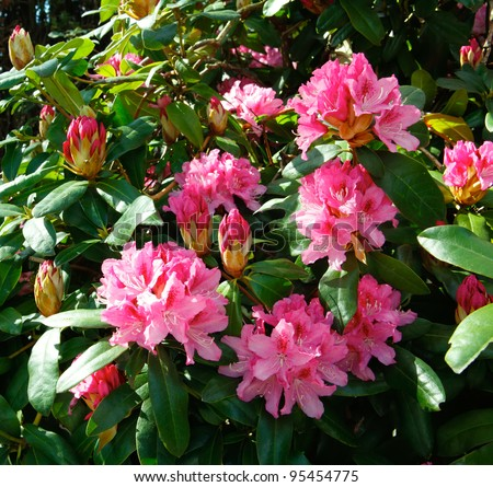 Pink bush of rhododendron. - stock photo