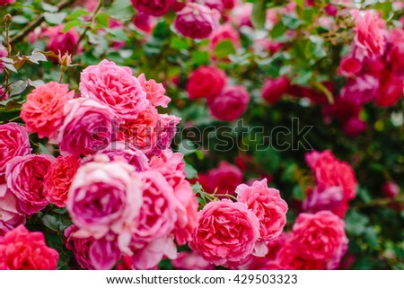 Pink bush with blossoming roses.