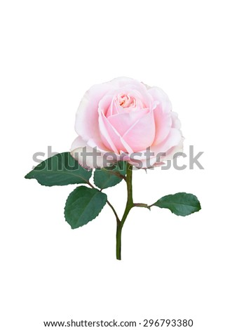 Pink button rose isolated on  white background.
