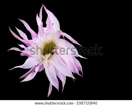 Pink Cactus Flower - stock photo