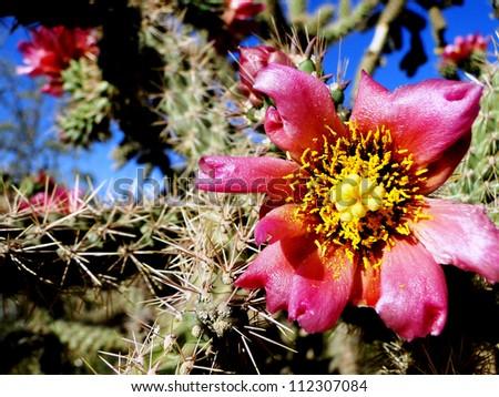 Pink Cactus Flower  - stock photo