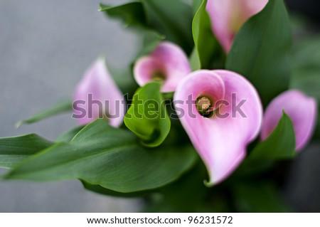 pink callas bouquet - stock photo