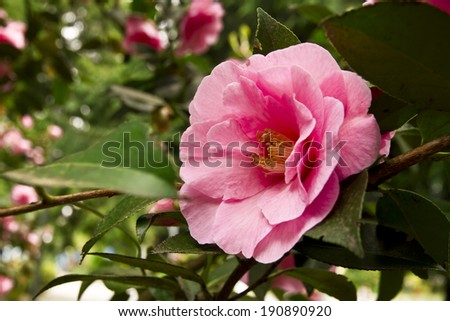 Pink camelia outdoor - stock photo