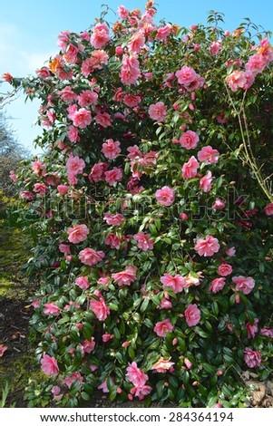 Pink Camellia - stock photo