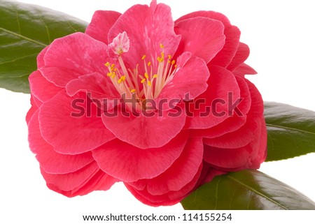 Pink camellia flower - stock photo