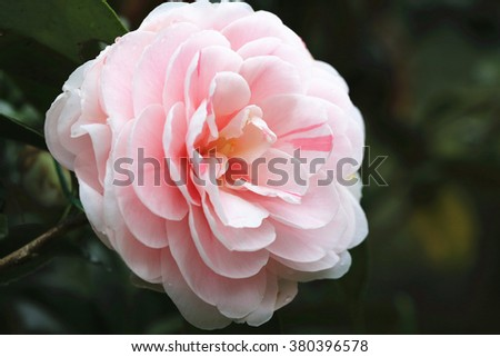 Pink Camellia flower closeup,beautiful red flower in full bloom in the garden in spring