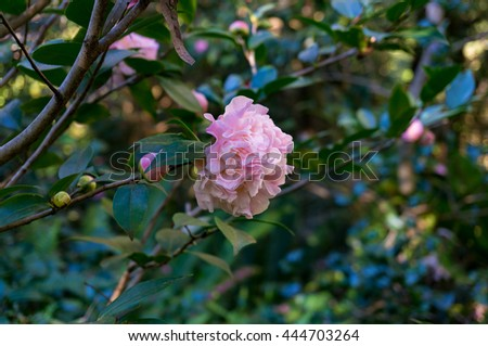 Pink camellia flower in full bloom against green foliage background. Pink Japanese Camellia flower in the garden surrounded  with glossy green leaves. Close up, selective focus, space for text - stock photo