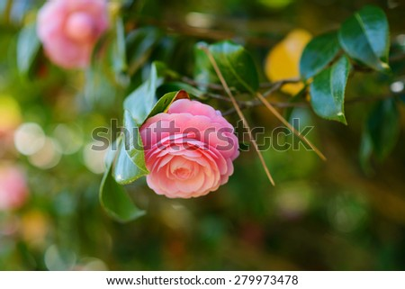Pink camellia flowers blooming in the garden. Shallow focus. - stock photo