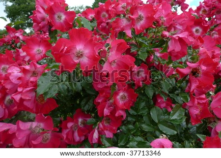 Pink camellia flowers blossoming. - stock photo