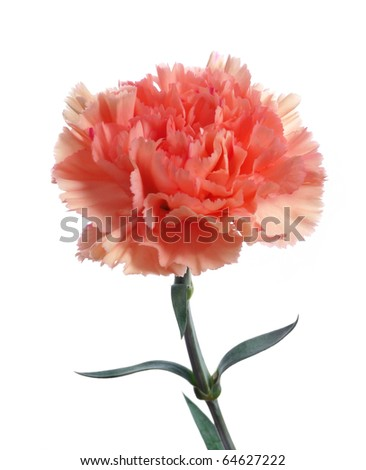 pink carnation - stock photo