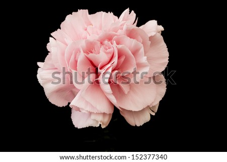 Pink Carnation cutout on black background - stock photo