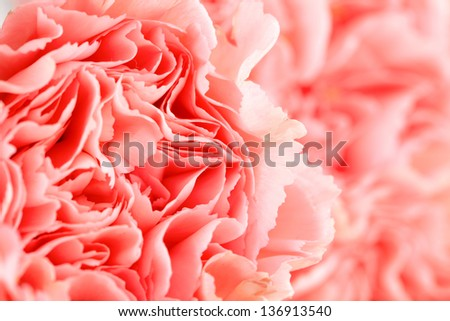 Pink carnation flower close up