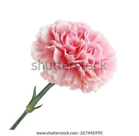 Pink Carnation Flower head isolated on white background - stock photo