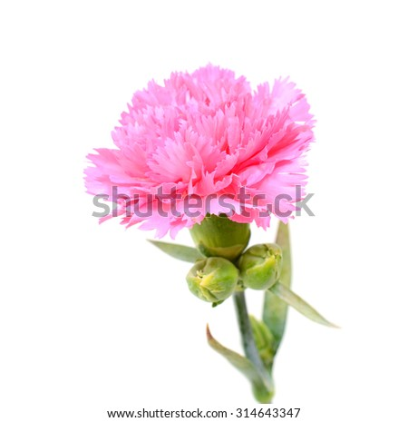 Pink carnation flower isolated on white background