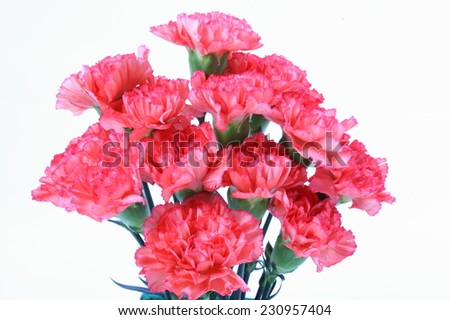 Pink carnation flower on white isolated