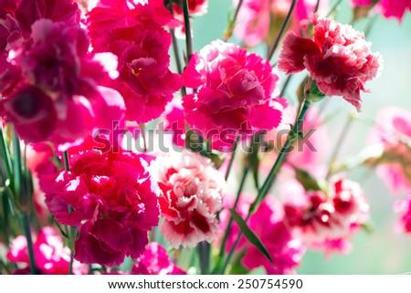 Pink carnation flowers close up, high key - stock photo
