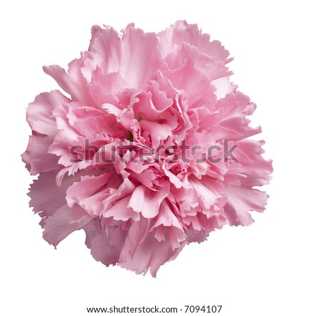 Pink Carnation - isolated on white - stock photo
